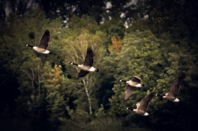 Canadian Geese Migrating In Autumn