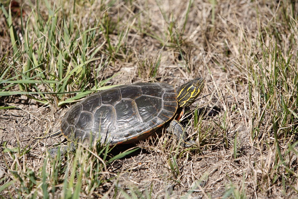 a small turtle from Alpine Meadows Resort