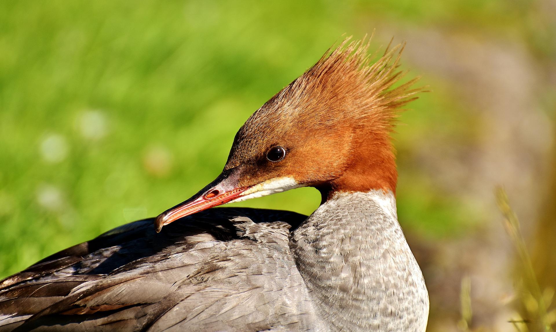 alpine-meadows-bc-birdwatching-merganser