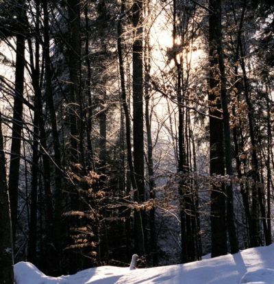 evergreen forest in snow with sun