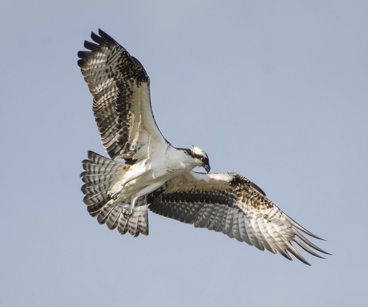 predatory bird over Wells Gray PArk