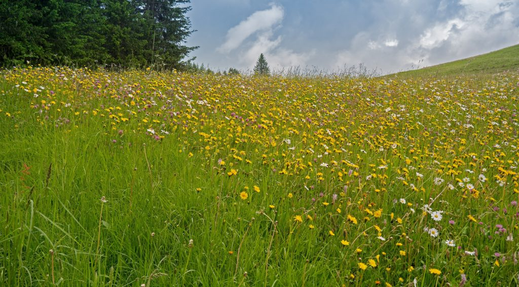 wildflowers in alpine meadow wells gray park
